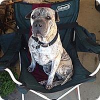 Adopt A Pet :: HOOCH - Carrollton, TX