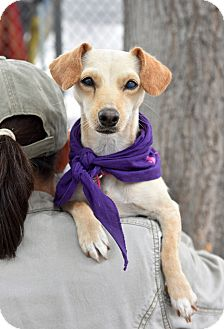 Chihuahua/Dachshund Mix Dog for adoption in San Diego, California - Annie