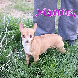 Chihuahua Mix Dog for adoption in Shakopee, Minnesota - Martina D3057