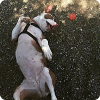 Pit Bull Terrier Mix Dog for adoption in Chico, California - Pretzel