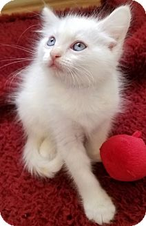 Domestic Longhair Kitten for adoption in Monrovia, California - Milk