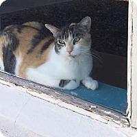 Adopt A Pet :: Tiger2 - Scottsdale, AZ