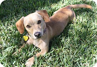 Dachshund/Terrier (Unknown Type, Small) Mix Dog for adoption in Los Angeles, California - Chance - I love to play!