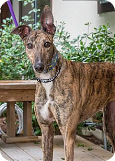Greyhound Dog for adoption in Walnut Creek, California - Rian