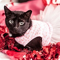 Domestic Shorthair Cat for adoption in Gainesville, Florida - Pearl