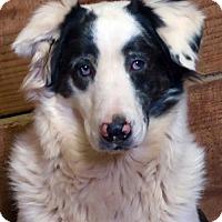 Australian Shepherd Mix Dog for adoption in Little Compton, Rhode Island - Sheldon