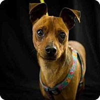 Adopt A Pet :: OLLIE - McKinleyville, CA