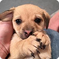 Adopt A Pet :: Anna Nicole - Rosamond, CA