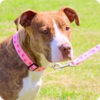 Adopt A Pet :: Lily Jewel - Glastonbury, CT