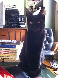 Domestic Shorthair Cat for adoption in Los Angeles, California - Basil-mellow cuddler