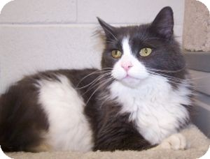 Domestic Longhair Cat for adoption in Colorado Springs, Colorado - Burgess