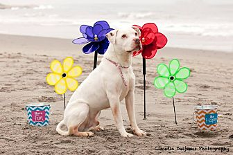 American Pit Bull Terrier/American Bulldog Mix Dog for adoption in West Warwick, Rhode Island - Ghost - Updated!