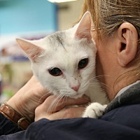 Domestic Shorthair Cat for adoption in Rochester, Minnesota - Snowflake