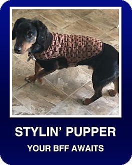Dachshund Dog for adoption in Morrisville, Pennsylvania - Baxter