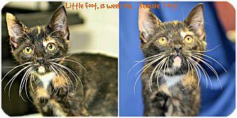 Domestic Shorthair Kitten for adoption in Siler City, North Carolina - Little Foot