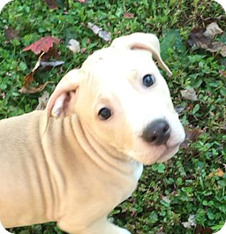 Bull Terrier Mix Puppy for adoption in Cincinnati, Ohio - Copper