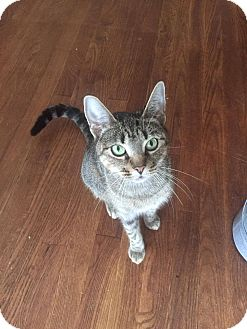 Domestic Shorthair Cat for adoption in Middlebury, Connecticut - Cleo