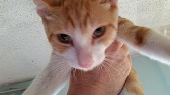 Domestic Shorthair Cat for adoption in Port Richey, Florida - Mickey