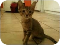 Abyssinian Kitten for adoption in Tampa, Florida - Clancy