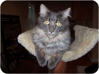 Turkish Angora Kitten for adoption in Chester, Virginia - Cheyenne