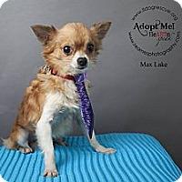 Adopt A Pet :: Max Lake - Shawnee Mission, KS