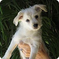 Adopt A Pet :: Lucy Loo - Scottsdale, AZ