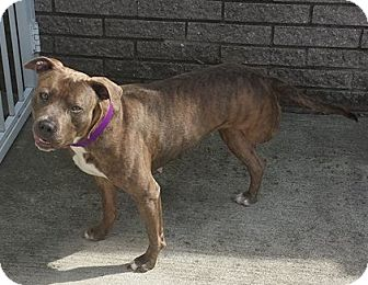 Pit Bull Terrier Mix Dog for adoption in Saint Clair Shores, Michigan - Savannah