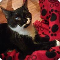 Domestic Shorthair Kitten for adoption in Mt. Pleasant, Pennsylvania - Jada