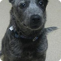 Adopt A Pet :: Blue - Gary, IN
