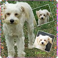 Adopt A Pet :: Lil Tune - San Antonio, TX