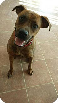 Boxer Dog for adoption in Olympia, Washington - Duke