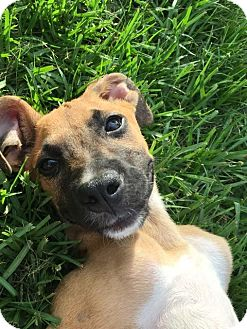 Black Mouth Cur Mix Puppy for adoption in Houston, Texas - Howard