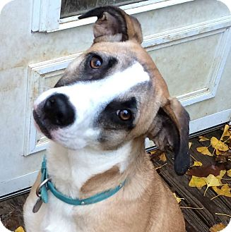 Shepherd (Unknown Type)/Labrador Retriever Mix Dog for adoption in Olive Branch, Mississippi - Lilly Will U Be Her Hero?