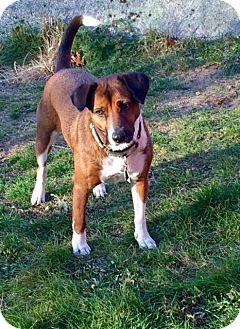 Beagle/Hound (Unknown Type) Mix Dog for adoption in Groton, Massachusetts - Annie
