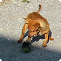 Dachshund/Chihuahua Mix Dog for adoption in Peralta, New Mexico - **MARTY