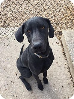 Labrador Retriever Dog for adoption in Willingboro, New Jersey - Joe