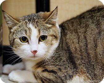 Domestic Shorthair Cat for adoption in Lincolnton, North Carolina - Dawn $20