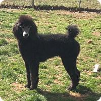 Poodle (Standard) Dog for adoption in Spartanburg, South Carolina - Dorothy