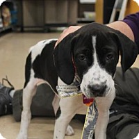 Adopt A Pet :: Oreo (Fostered in New England) - Brighton, TN