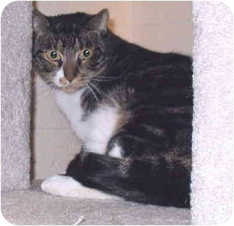 Domestic Shorthair Cat for adoption in Grass Valley, California - Polly*URGENT*
