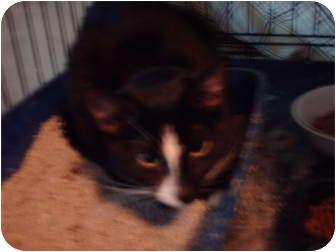 Domestic Shorthair Kitten for adoption in Hampton, Connecticut - Baby Girl