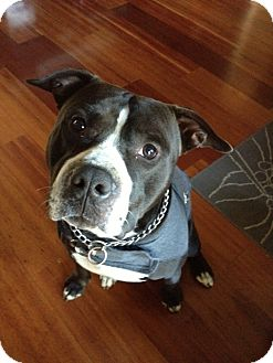 American Staffordshire Terrier Mix Dog for adoption in San Diego, California - Goliath
