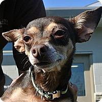 Adopt A Pet :: Samantha - white settlment, TX
