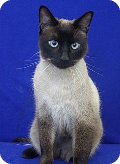 Siamese Cat for adoption in Wichita, Kansas - Grayson