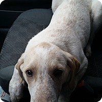 Labrador Retriever Mix Puppy for adoption in chicago, Illinois - Wiley