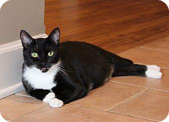 Domestic Shorthair Cat for adoption in Carlisle, Pennsylvania - Jozy