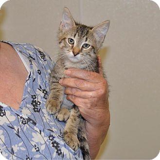 Domestic Shorthair Kitten for adoption in Sunrise Beach, Missouri - Magic