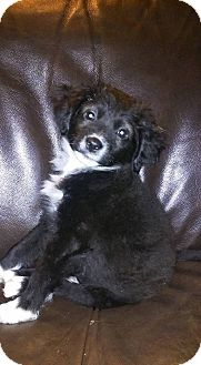 Chihuahua/Terrier (Unknown Type, Small) Mix Puppy for adoption in DeForest, Wisconsin - Green