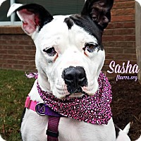 American Pit Bull Terrier Dog for adoption in Roanoke, Virginia - Sasha