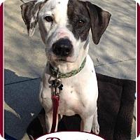 Adopt A Pet :: Dottie - Raleigh, NC